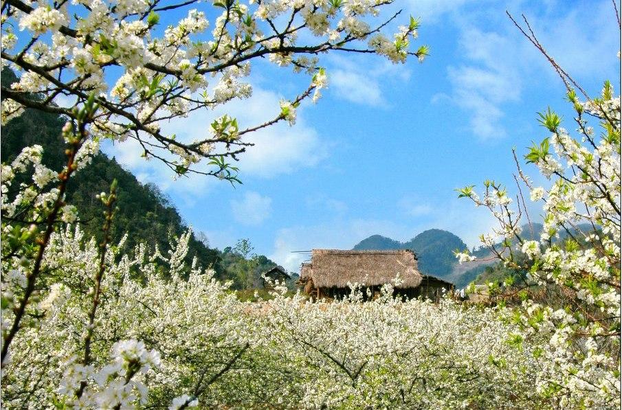 du lịch mộc châu tháng Tháng 1, tháng 2 dương lịch, Mùa hoa đào, hoa mận nở rộ