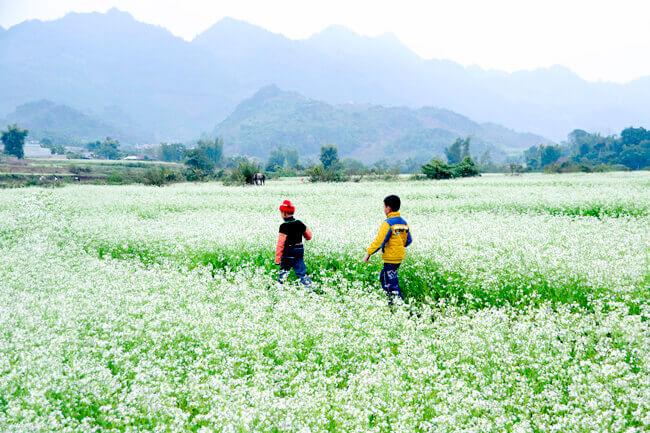 du lịch mộc châu Tháng 10 - tháng 12, mùa hoa cải trắng, hoa dã quỳ nở rộ