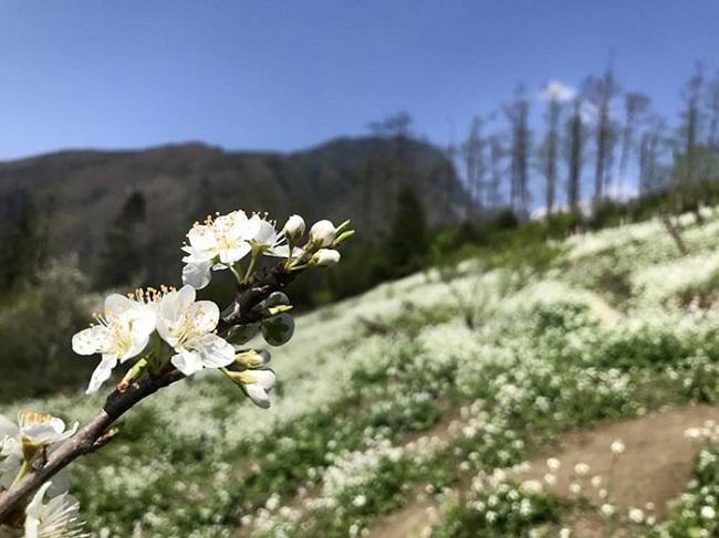 Hoa lê Sapa tháng 3