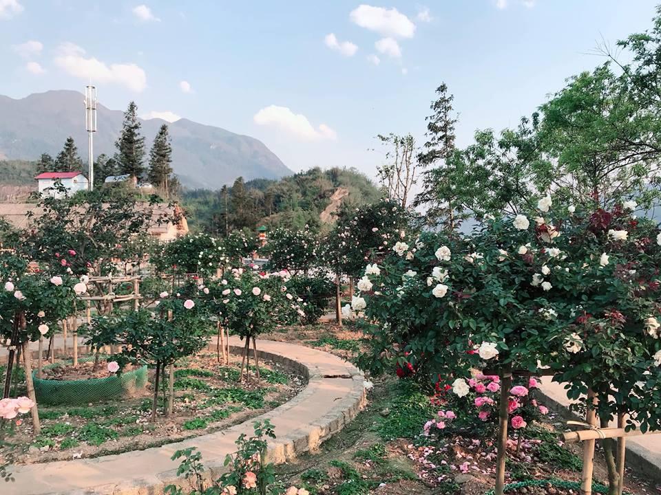 vườn hồng cổ sâu chua sapa
